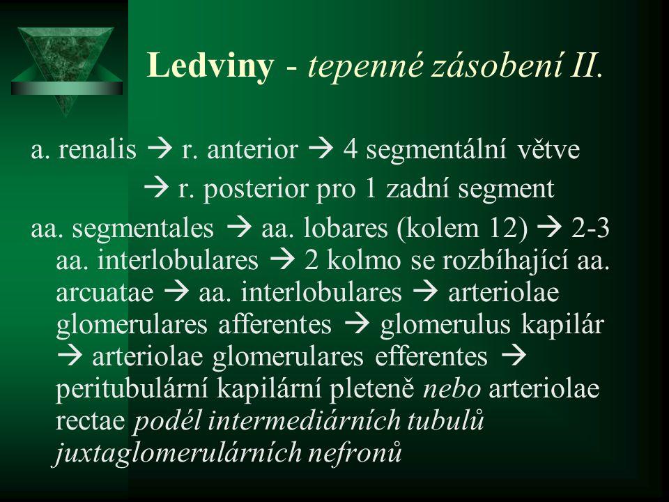 Ledviny - tepenné zásobení II. a. renalis  r. anterior  4 segmentální větve  r. posterior pro 1 zadní segment aa. segmentales  aa. lobares (kolem