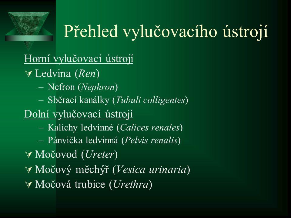 Močovod - zásobení  Tepny: a.renalis, aorta abdominalis, a.