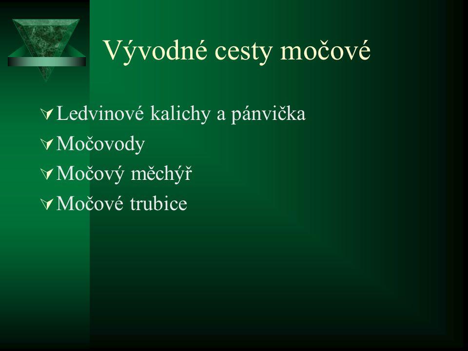 Vývodné cesty močové  Ledvinové kalichy a pánvička  Močovody  Močový měchýř  Močové trubice