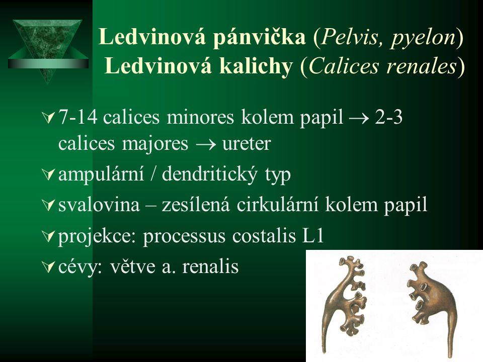 Ledvinová pánvička (Pelvis, pyelon) Ledvinová kalichy (Calices renales)  7-14 calices minores kolem papil  2-3 calices majores  ureter  ampulární
