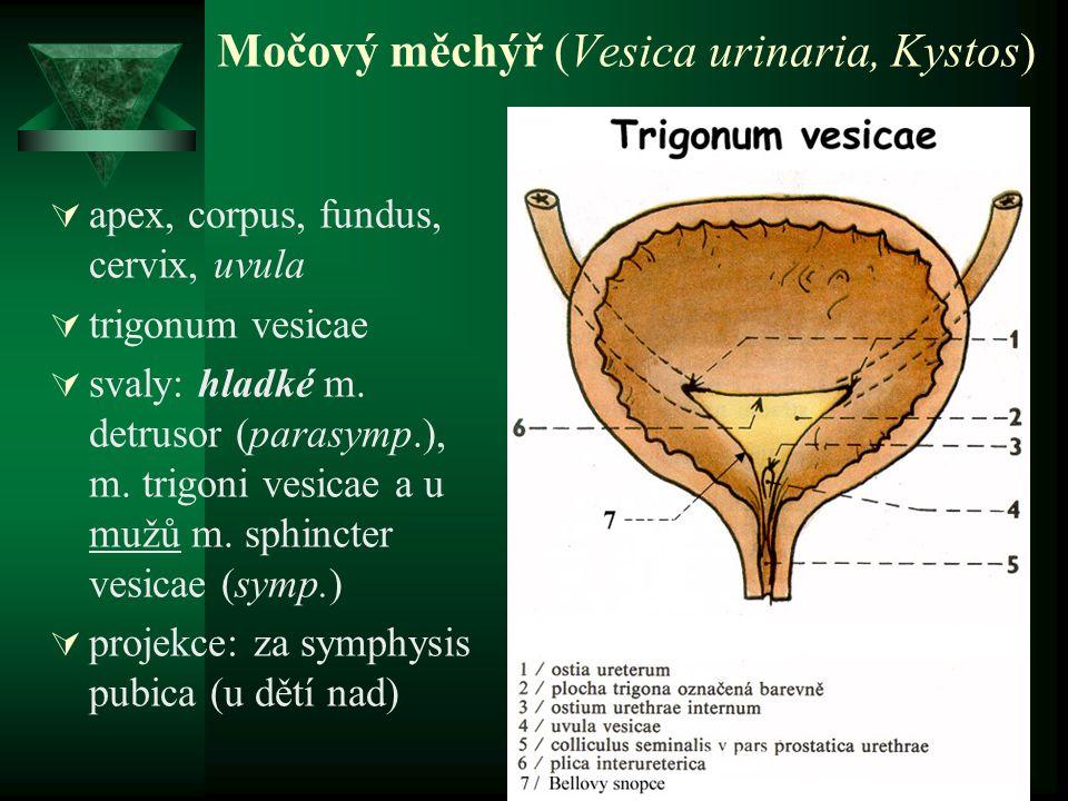 Močový měchýř (Vesica urinaria, Kystos)  apex, corpus, fundus, cervix, uvula  trigonum vesicae  svaly: hladké m. detrusor (parasymp.), m. trigoni v