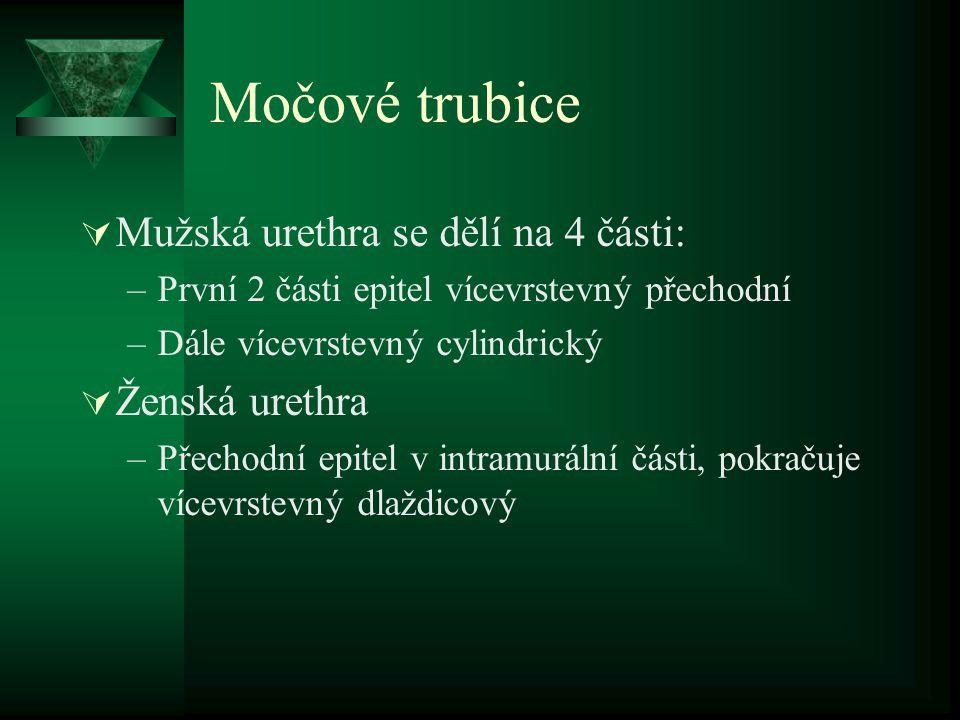 Močové trubice  Mužská urethra se dělí na 4 části: –První 2 části epitel vícevrstevný přechodní –Dále vícevrstevný cylindrický  Ženská urethra –Přec