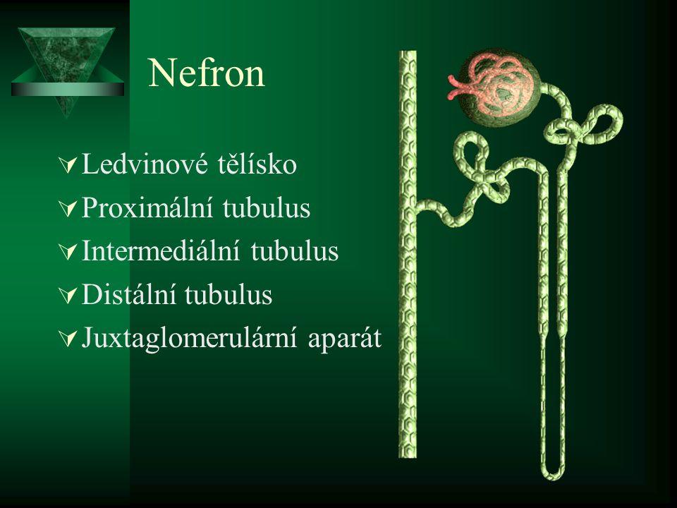 Nefron  Ledvinové tělísko  Proximální tubulus  Intermediální tubulus  Distální tubulus  Juxtaglomerulární aparát