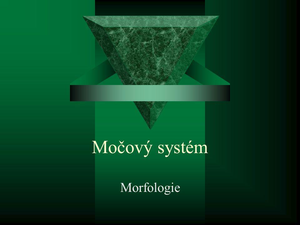 Močový systém Morfologie