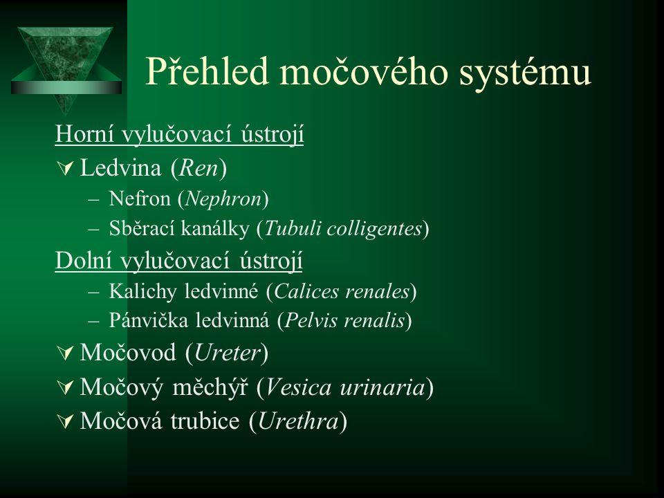 Přehled močového systému Horní vylučovací ústrojí  Ledvina (Ren) –Nefron (Nephron) –Sběrací kanálky (Tubuli colligentes) Dolní vylučovací ústrojí –Kalichy ledvinné (Calices renales) –Pánvička ledvinná (Pelvis renalis)  Močovod (Ureter)  Močový měchýř (Vesica urinaria)  Močová trubice (Urethra)