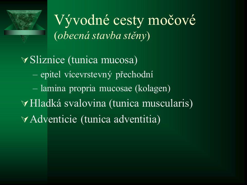 Vývodné cesty močové (obecná stavba stěny)  Sliznice (tunica mucosa) –epitel vícevrstevný přechodní –lamina propria mucosae (kolagen)  Hladká svalovina (tunica muscularis)  Adventicie (tunica adventitia)