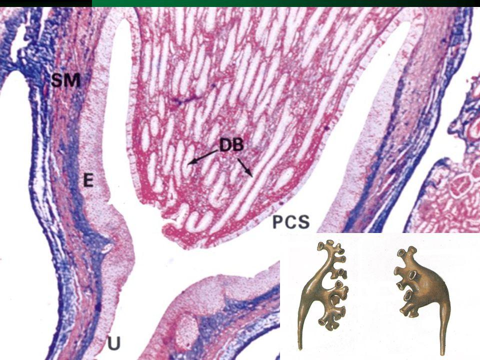 Ledvinná pánvička (pelvis, pyelon) Ledvinné kalichy (calices renales)  7-14 calices minores kolem papil  2-3 calices majores  ureter  ampulární / dendritický typ  svalovina – zesílená cirkulární  projekce: processus costalis L1  cévy: větve a.