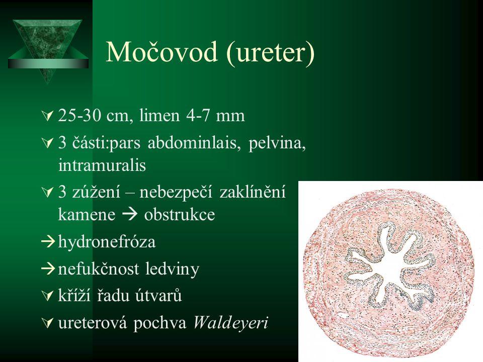 Močovod (ureter)  25-30 cm, limen 4-7 mm  3 části:pars abdominlais, pelvina, intramuralis  3 zúžení – nebezpečí zaklínění kamene  obstrukce  hydronefróza  nefukčnost ledviny  kříží řadu útvarů  ureterová pochva Waldeyeri