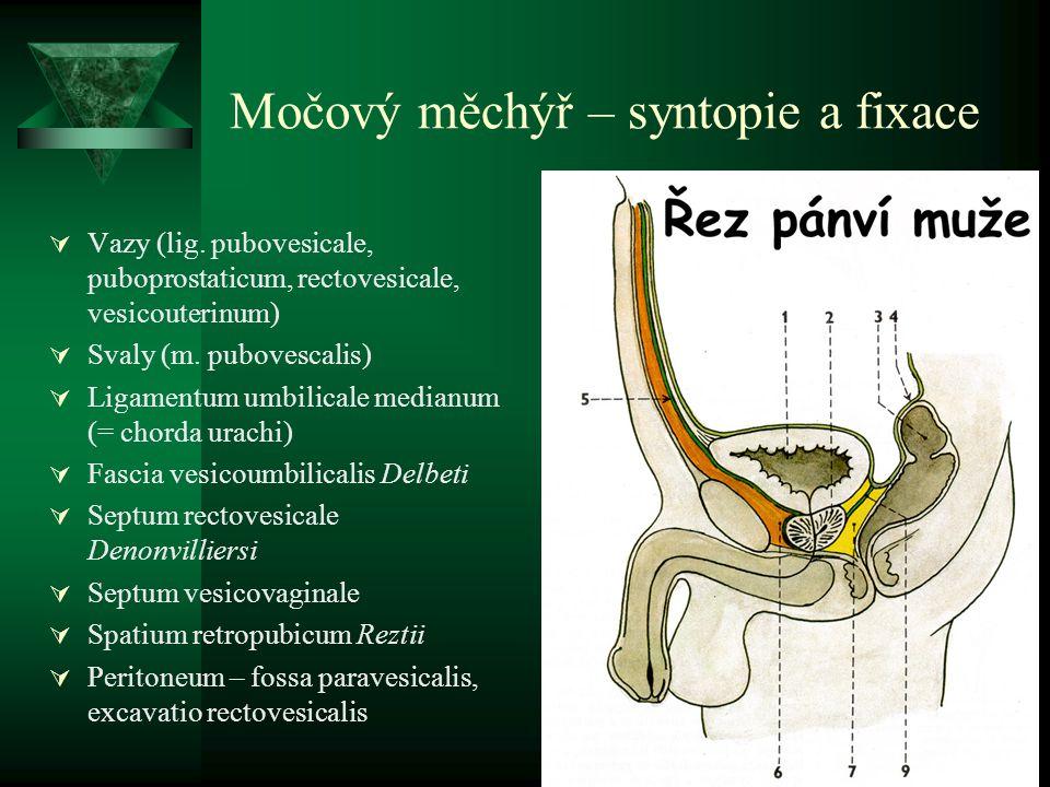 Močový měchýř – syntopie a fixace  Vazy (lig.