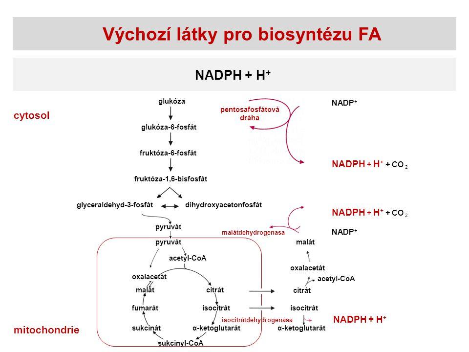Výchozí látky pro biosyntézu FA NADPH + H + glukóza glukóza-6-fosfát fruktóza-6-fosfát fruktóza-1,6-bisfosfát glyceraldehyd-3-fosfátdihydroxyacetonfos