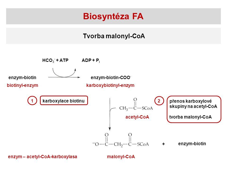 Biosyntéza FA Tvorba malonyl-CoA HCO 3 - + ATPADP + P i enzym-biotinenzym-biotin-COO - enzym-biotin acetyl-CoA malonyl-CoA biotinyl-enzymkarboxybiotin