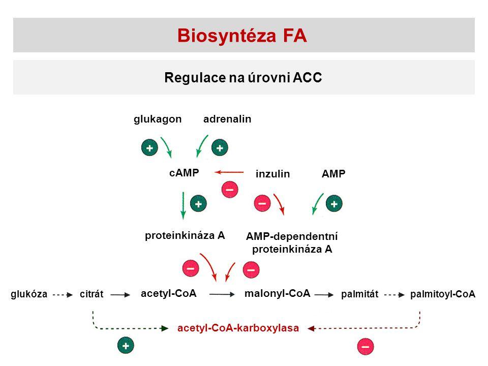 Biosyntéza FA Regulace na úrovni ACC acetyl-CoAmalonyl-CoA palmitátglukózacitrátpalmitoyl-CoA acetyl-CoA-karboxylasa proteinkináza A AMP-dependentní p