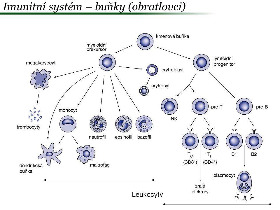  Vrozená imunita Humorální –Komplement – lyze buněk, opsonizace parazita –Interfeon –Antimikrobiální peptidy Start = vrozená imunita