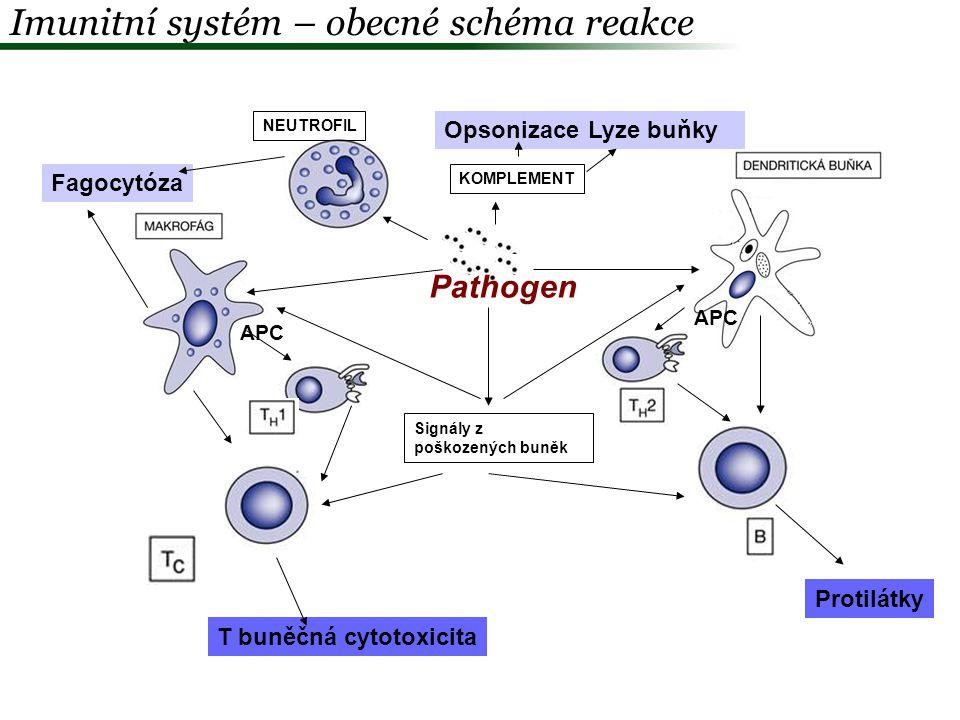 Imunitní systém – souslednost reakce