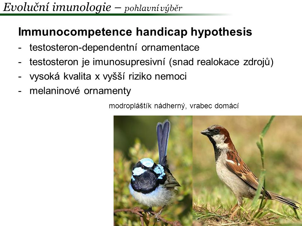 Oxidation handicap hypothesis -testosteron dependentní exprese ornamentu -testosteron snižuje rezistenci k oxidativnímu stresu Zebřička pestrá (Taeniopygia guttata) -implantace flutamidu (antiandrogen) x testosteron x placebo -ox.