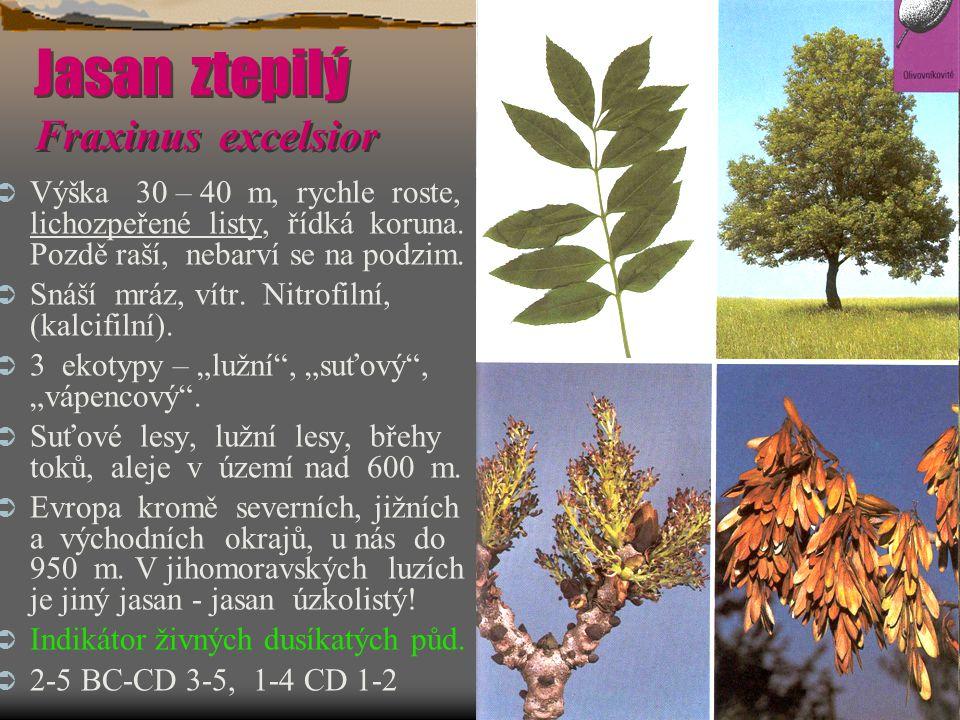 Jasan ztepilý Fraxinus excelsior  Výška 30 – 40 m, rychle roste, lichozpeřené listy, řídká koruna. Pozdě raší, nebarví se na podzim.  Snáší mráz, ví