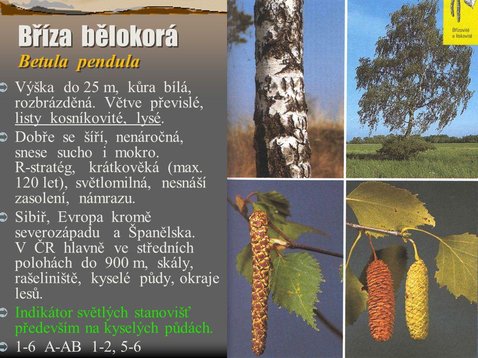 Bříza bělokorá Betula pendula Bříza bělokorá Betula pendula  Výška do 25 m, kůra bílá, rozbrázděná. Větve převislé, listy kosníkovité, lysé.  Dobře