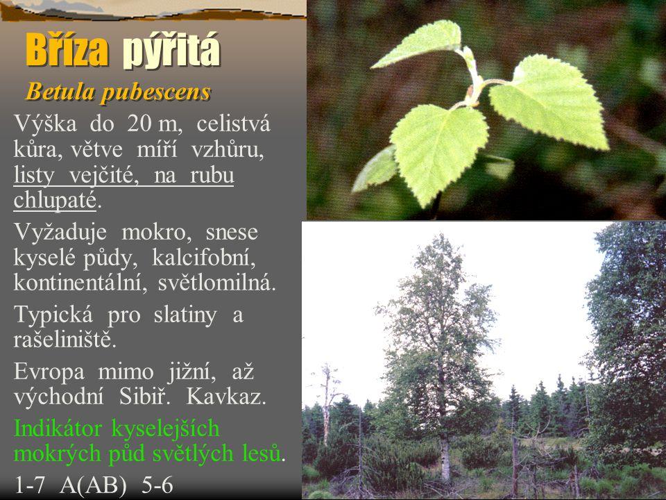 Bříza pýřitá Betula pubescens Výška do 20 m, celistvá kůra, větve míří vzhůru, listy vejčité, na rubu chlupaté. Vyžaduje mokro, snese kyselé půdy, kal