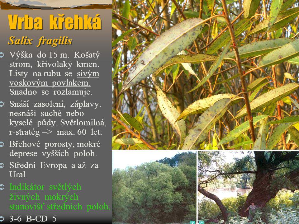 Vrba křehká Salix fragilis  Výška do 15 m. Košatý strom, křivolaký kmen. Listy na rubu se sivým voskovým povlakem. Snadno se rozlamuje.  Snáší zasol