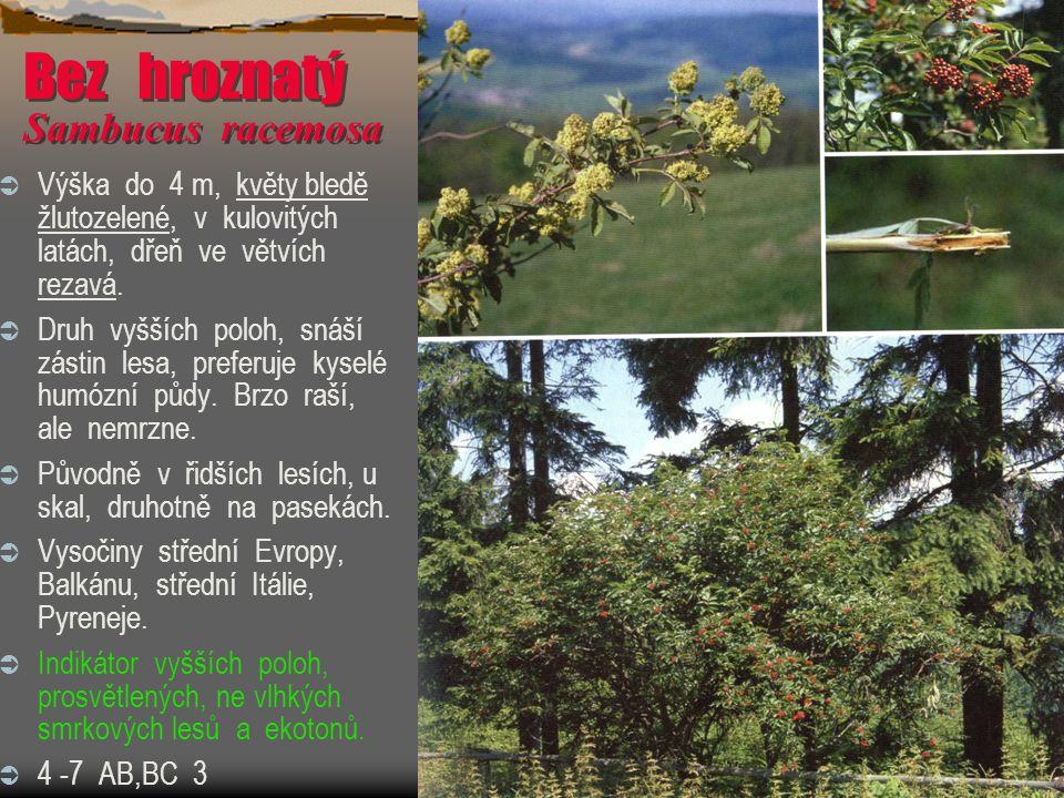 Bez hroznatý Sambucus racemosa  Výška do 4 m, květy bledě žlutozelené, v kulovitých latách, dřeň ve větvích rezavá.  Druh vyšších poloh, snáší zásti