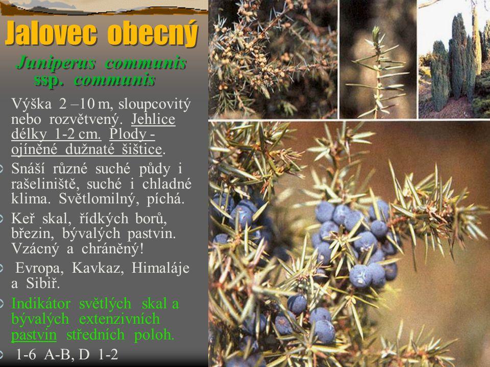 Jalovec obecný Juniperus communis ssp. communis Jalovec obecný J uniperus communis ssp. communis Výška 2 –10 m, sloupcovitý nebo rozvětvený. Jehlice d