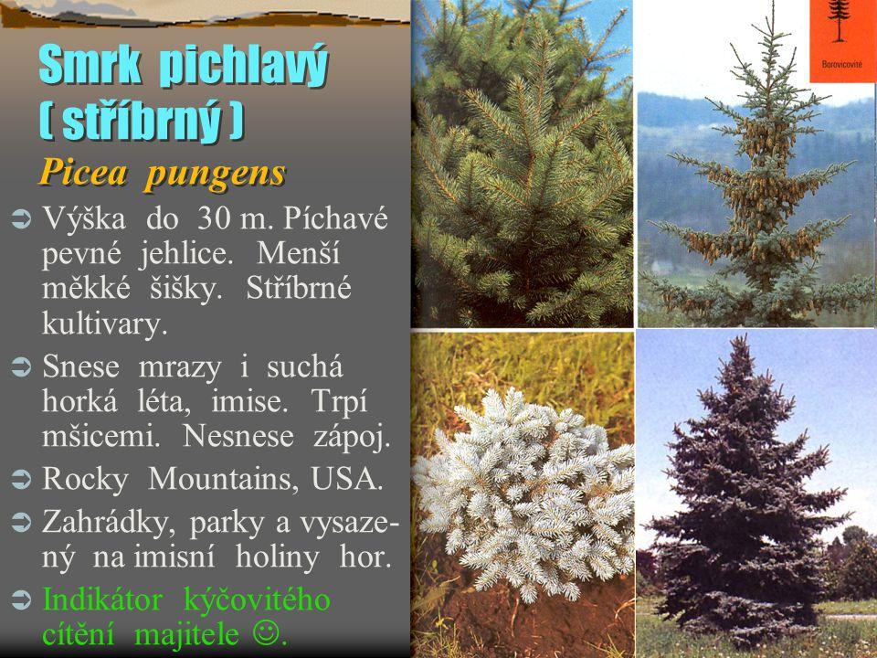 Smrk pichlavý ( stříbrný ) Picea pungens  Výška do 30 m. Píchavé pevné jehlice. Menší měkké šišky. Stříbrné kultivary.  Snese mrazy i suchá horká lé