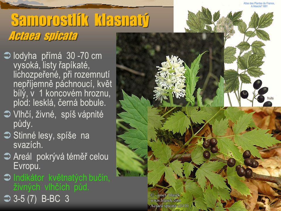 Samorostlík klasnatý Actaea spicata Samorostlík klasnatý Actaea spicata  lodyha přímá 30 -70 cm vysoká, listy řapíkaté, lichozpeřené, při rozemnutí n