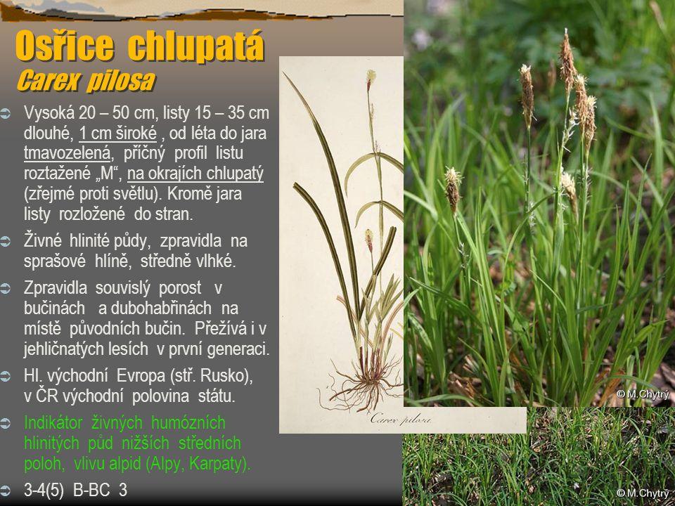 """Osřice chlupatá Carex pilosa  Vysoká 20 – 50 cm, listy 15 – 35 cm dlouhé, 1 cm široké, od léta do jara tmavozelená, příčný profil listu roztažené """"M"""""""