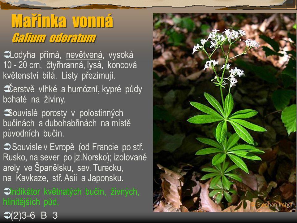 Mařinka vonná Galium odoratum  Lodyha přímá, nevětvená, vysoká 10 - 20 cm, čtyřhranná, lysá, koncová květenství bílá. Listy přezimují.  Čerstvě vlhk