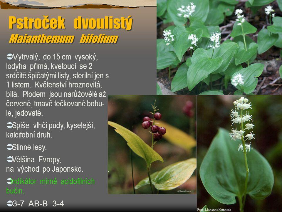 Pstroček dvoulistý Maianthemum bifolium  V ytrvalý, do 15 cm vysoký, lodyha přímá, kvetoucí se 2 srdčitě špičatými listy, sterilní jen s 1 listem. Kv