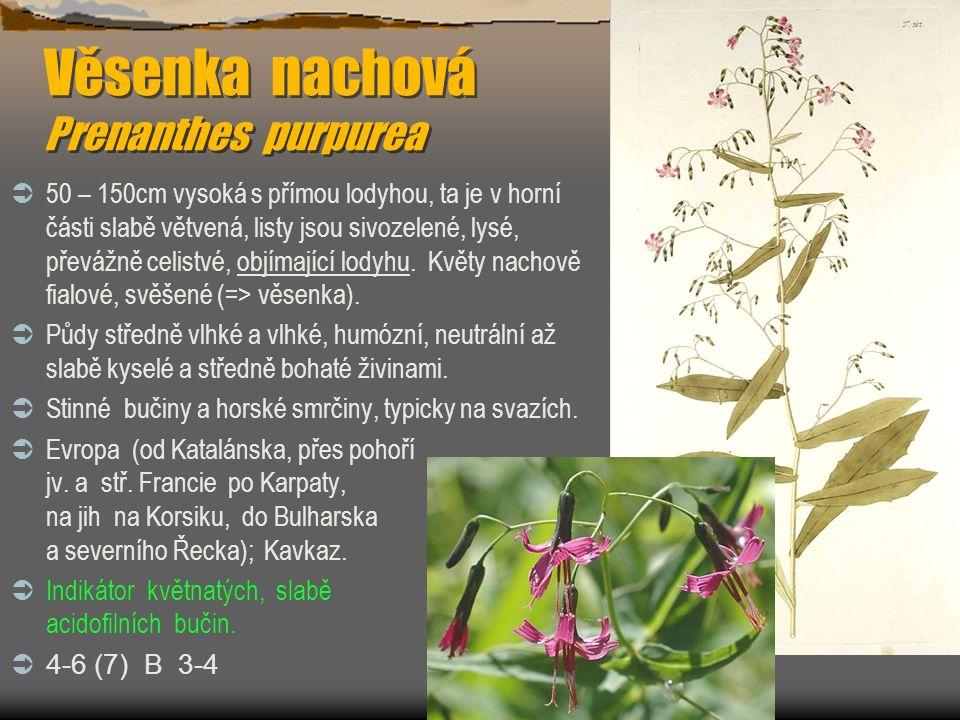 Věsenka nachová Prenanthes purpurea  50 – 150cm vysoká s přímou lodyhou, ta je v horní části slabě větvená, listy jsou sivozelené, lysé, převážně cel