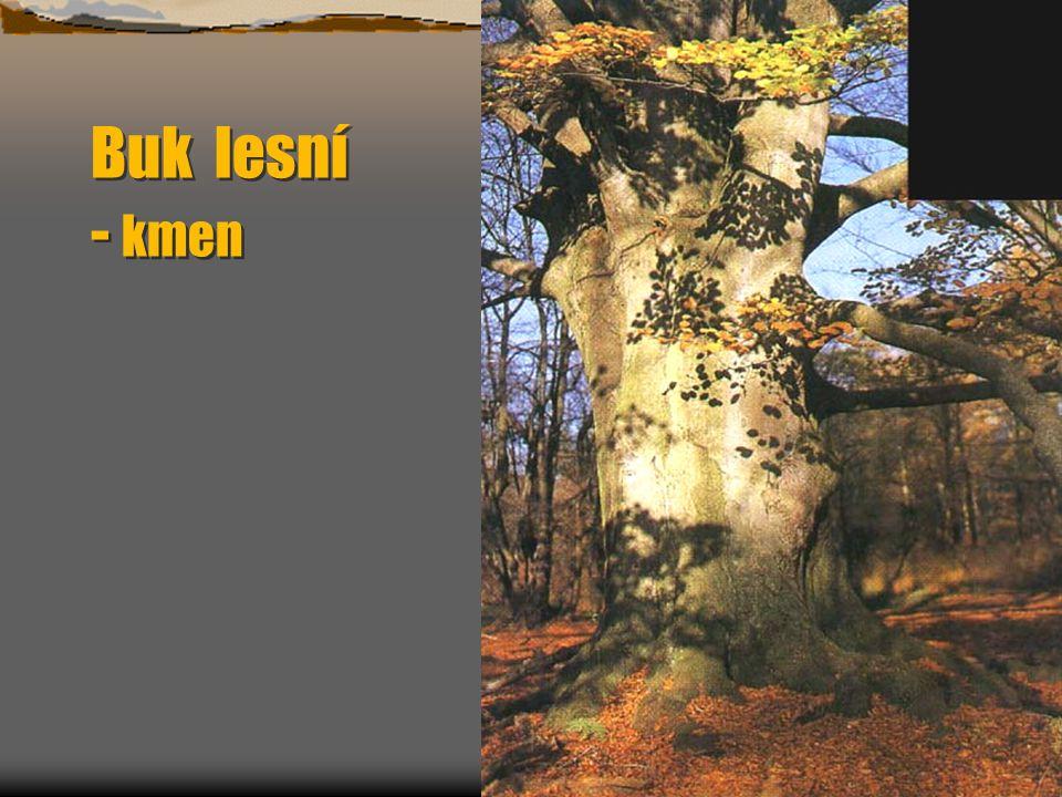 Buk lesní Fagus sylvatica v parku Na podzim hnědooranžový.