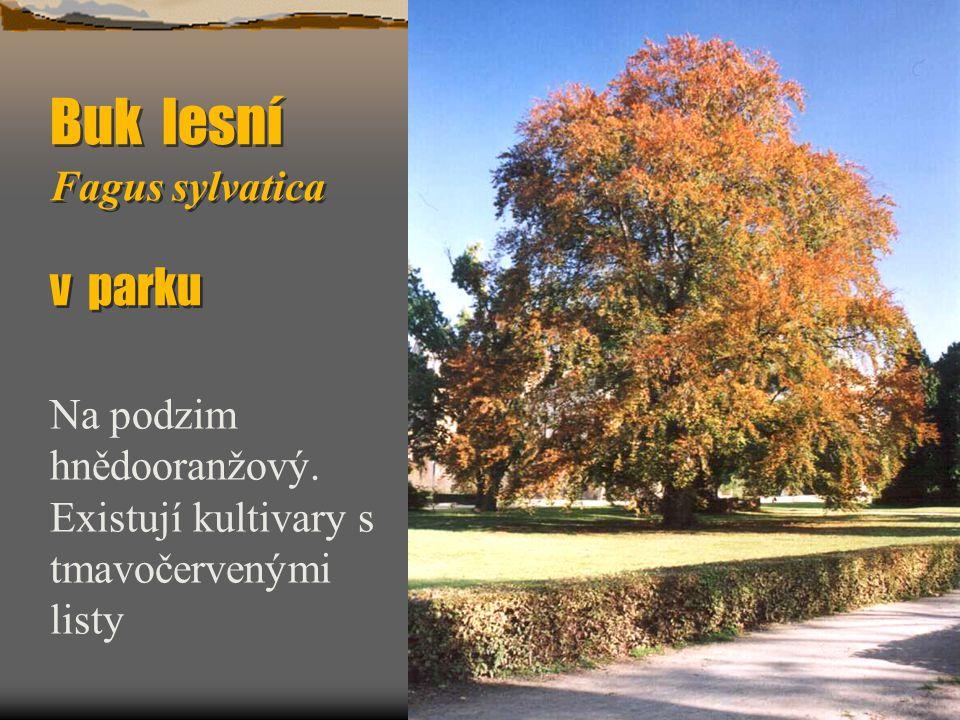 Buk lesní Fagus sylvatica v parku Na podzim hnědooranžový. Existují kultivary s tmavočervenými listy