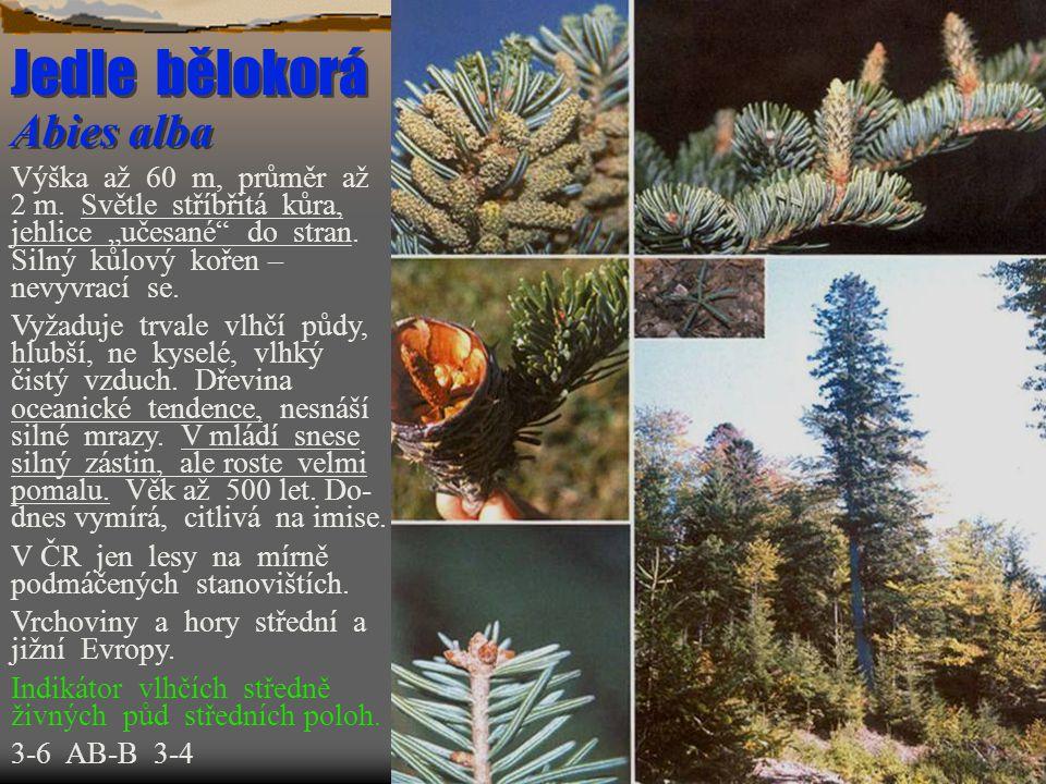 Vrba křehká Salix fragilis  Výška do 15 m.Košatý strom, křivolaký kmen.