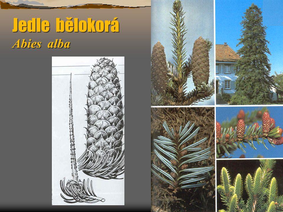 Bez hroznatý Sambucus racemosa  Výška do 4 m, květy bledě žlutozelené, v kulovitých latách, dřeň ve větvích rezavá.