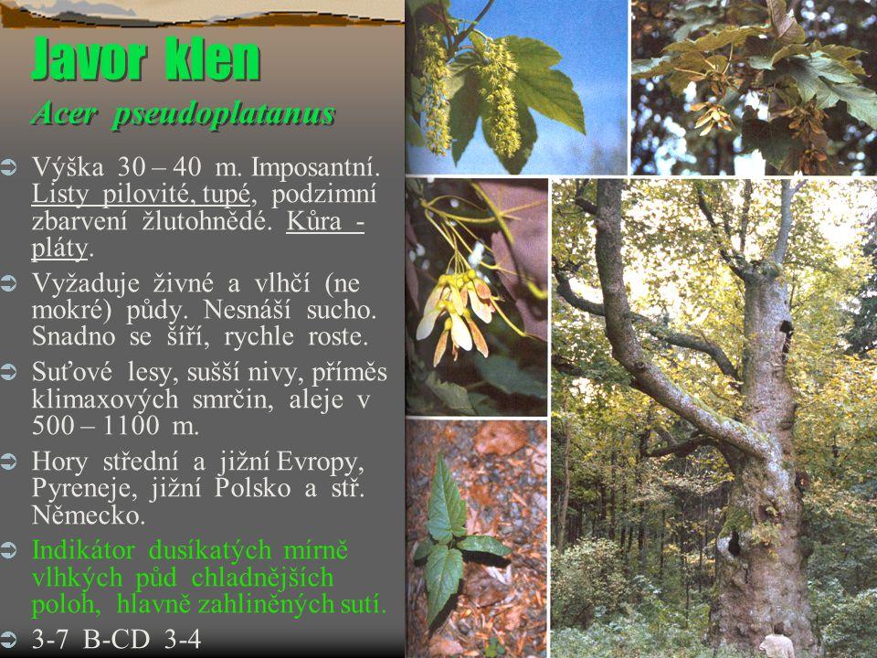 Javor klen Acer pseudoplatanus  Výška 30 – 40 m. Imposantní. Listy pilovité, tupé, podzimní zbarvení žlutohnědé. Kůra - pláty.  Vyžaduje živné a vlh