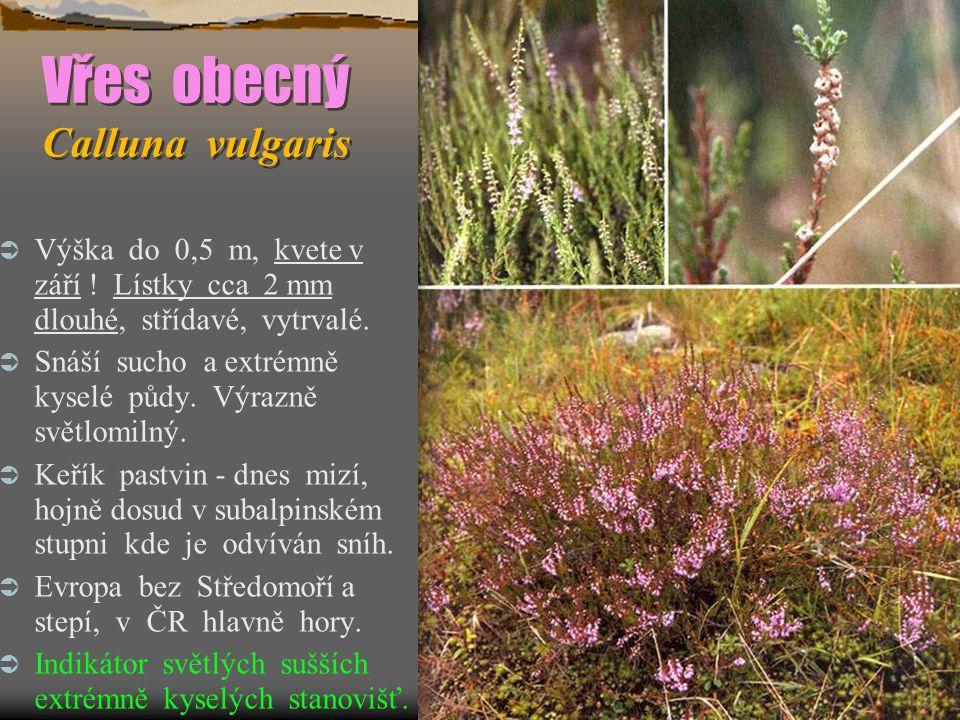 Vřes obecný Calluna vulgaris  Výška do 0,5 m, kvete v září .