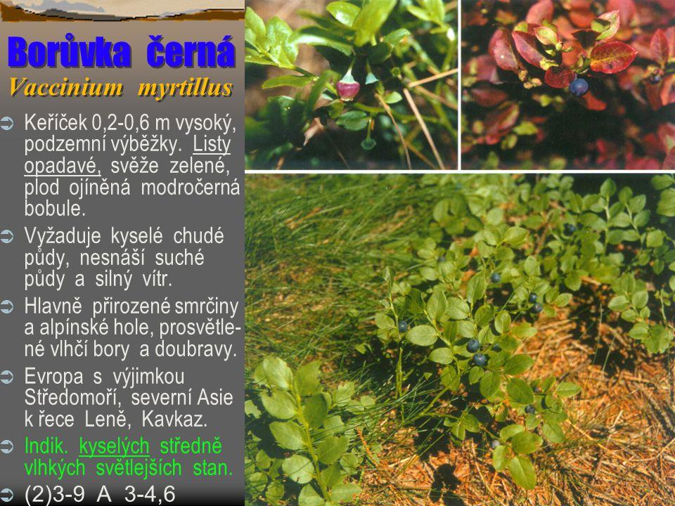 Borůvka černá Vaccinium myrtillus  Keříček 0,2-0,6 m vysoký, podzemní výběžky.