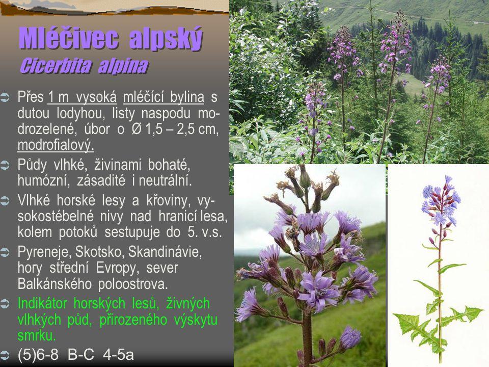 Mléčivec alpský Cicerbita alpina  Přes 1 m vysoká mléčící bylina s dutou lodyhou, listy naspodu mo- drozelené, úbor o Ø 1,5 – 2,5 cm, modrofialový.