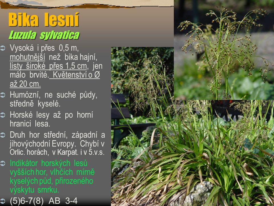 Bika lesní Luzula sylvatica  Vysoká i přes 0,5 m, mohutnější než bika hajní, listy široké přes 1,5 cm, jen málo brvité.