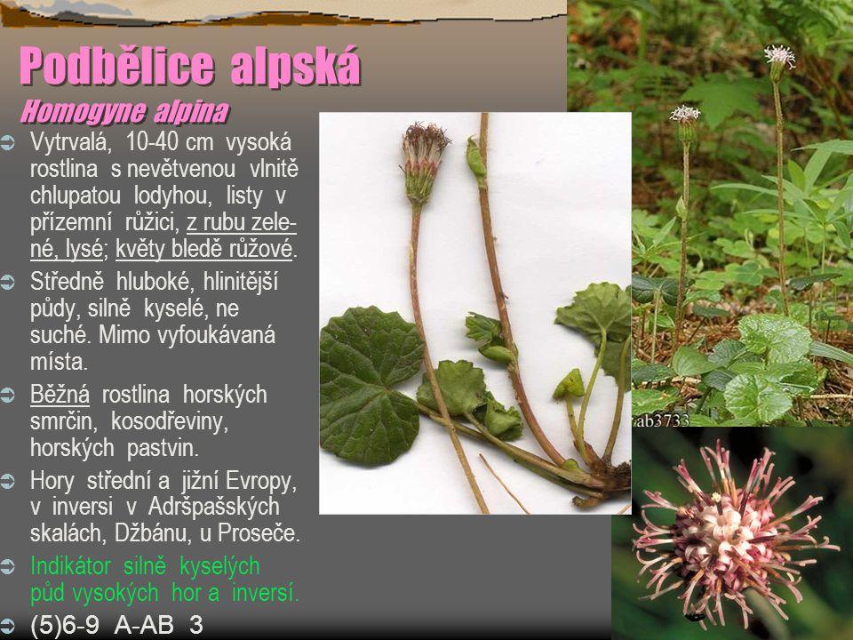 Podbělice alpská Homogyne alpina  Vytrvalá, 10-40 cm vysoká rostlina s nevětvenou vlnitě chlupatou lodyhou, listy v přízemní růžici, z rubu zele- né, lysé; květy bledě růžové.