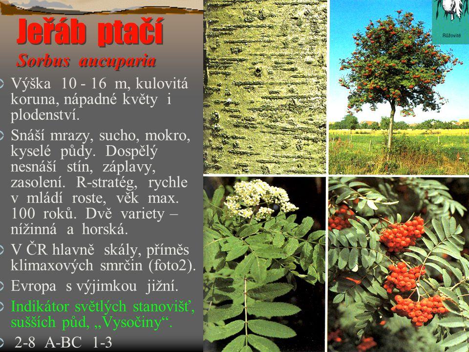 Jeřáb ptačí Sorbus aucuparia  Výška 10 - 16 m, kulovitá koruna, nápadné květy i plodenství.