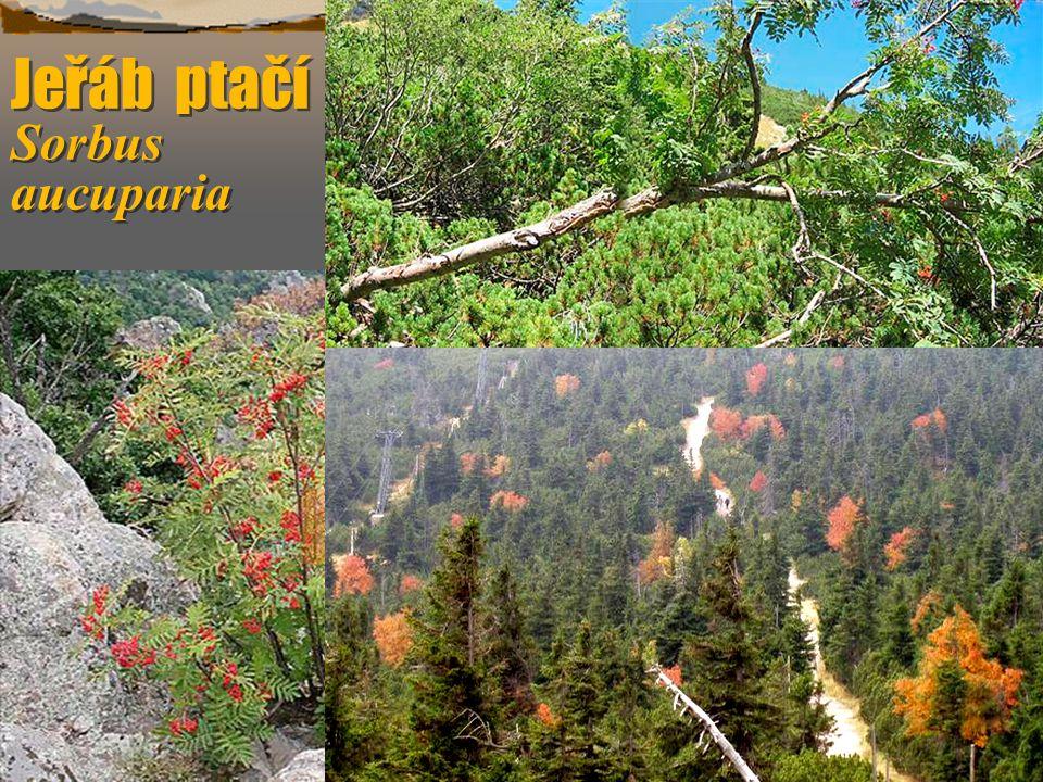 Třtina chloupkatá Calamagrostis villosa  Tráva sterilní vysoká 0,6 m, v květu i 1,3 m.