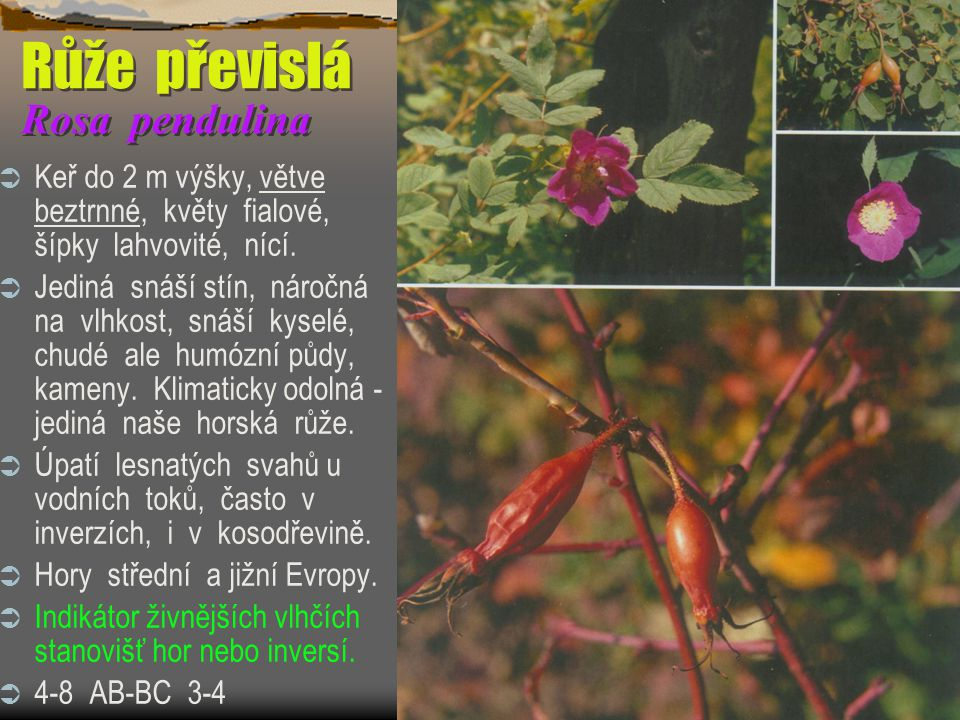 Růže převislá Rosa pendulina  Keř do 2 m výšky, větve beztrnné, květy fialové, šípky lahvovité, nící.