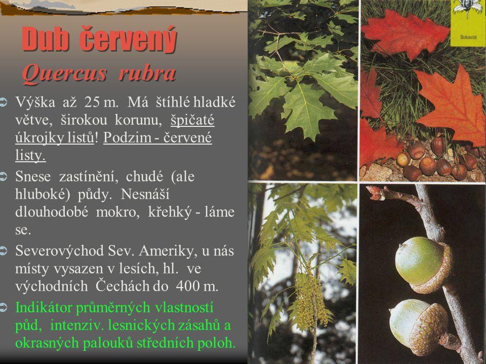 Dub červený Quercus rubra  Výška až 25 m. Má štíhlé hladké větve, širokou korunu, špičaté úkrojky listů! Podzim - červené listy.  Snese zastínění, c