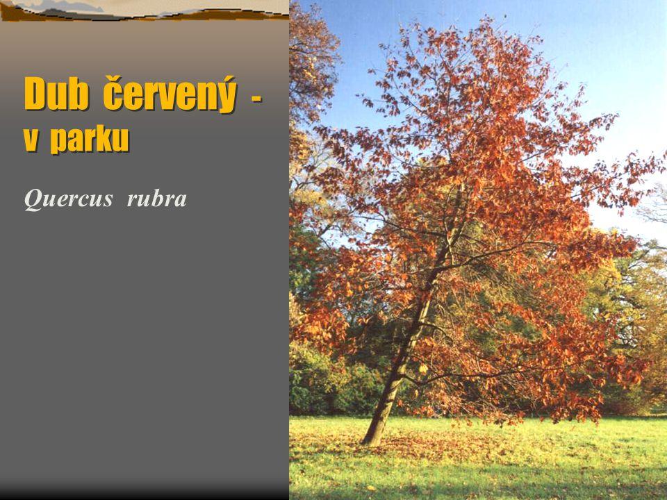 Dub červený - v parku Quercus rubra