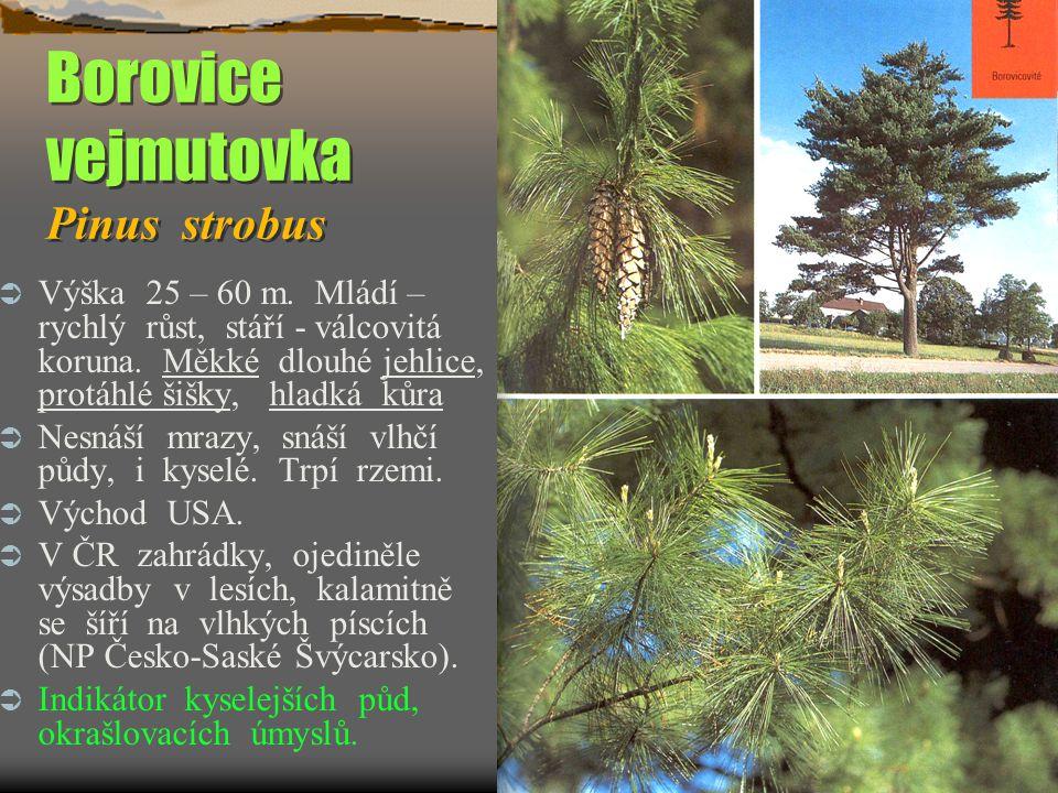 Borovice vejmutovka Pinus strobus  Výška 25 – 60 m. Mládí – rychlý růst, stáří - válcovitá koruna. Měkké dlouhé jehlice, protáhlé šišky, hladká kůra