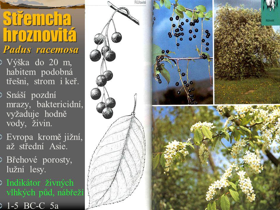 Střemcha hroznovitá Padus racemosa Střemcha hroznovitá Padus racemosa  Výška do 20 m, habitem podobná třešni, strom i keř.  Snáší pozdní mrazy, bakt