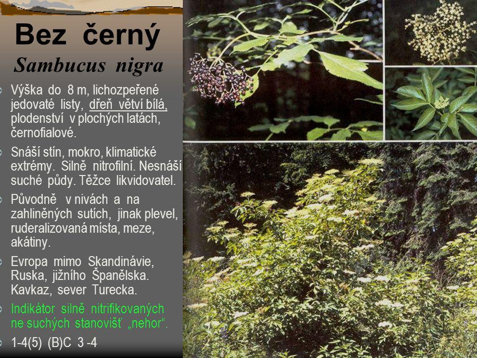  Výška do 8 m, lichozpeřené jedovaté listy, dřeň větví bílá, plodenství v plochých latách, černofialové.  Snáší stín, mokro, klimatické extrémy. Sil