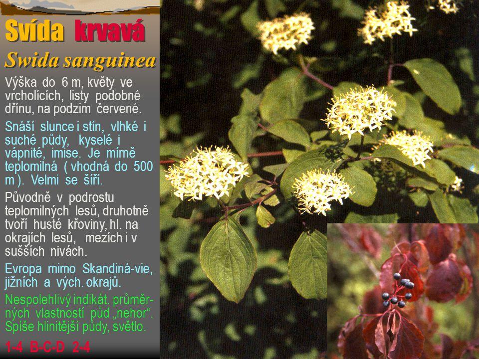 Svída krvavá Swida sanguinea Výška do 6 m, květy ve vrcholících, listy podobné dřínu, na podzim červené. Snáší slunce i stín, vlhké i suché půdy, kyse